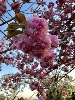 満開の八重桜の写真・画像素材[1121555]