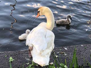 水辺の白鳥の写真・画像素材[1198561]