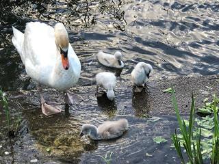白鳥の子育ての写真・画像素材[1198600]