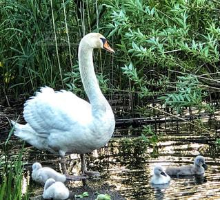 白鳥かあさんと子供たち🐤の写真・画像素材[1252556]