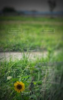 草の中の黄色い花の写真・画像素材[1307439]