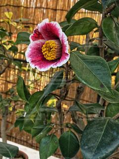 冬の花🌸の写真・画像素材[1677908]