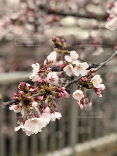 桜の写真・画像素材[1881432]