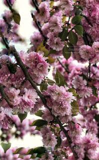 八重桜の写真・画像素材[2052006]