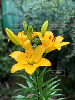 庭に咲いた 百合の花の写真・画像素材[2259487]