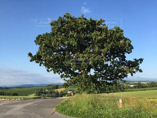 セブンスターの木の写真・画像素材[1120074]