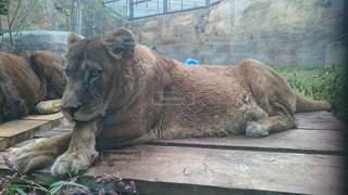 横たわるライオンの写真・画像素材[1120114]