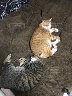 ベッドの上で横になっている猫達の写真・画像素材[1120296]