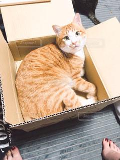 箱入り猫の写真・画像素材[1446152]