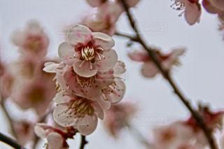 光陽梅祭りの写真・画像素材[1120641]