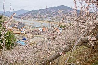 光陽梅祭りの写真・画像素材[1120645]
