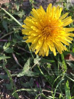 黄色の花の写真・画像素材[1125265]