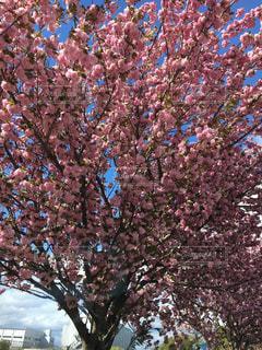 木の大きなピンクの花の写真・画像素材[1130181]