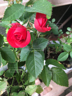 近くに緑の葉と赤い花のアップの写真・画像素材[1130185]
