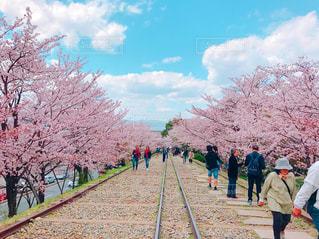 京都一美しい桜の写真・画像素材[1120820]