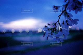桜の花びらのような玉ボケの写真・画像素材[1136356]