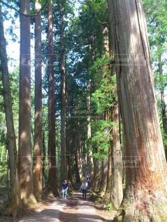 長野・戸隠神社の杉並木の写真・画像素材[1122132]