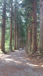 長野・戸隠神社の杉並木の写真・画像素材[1122134]