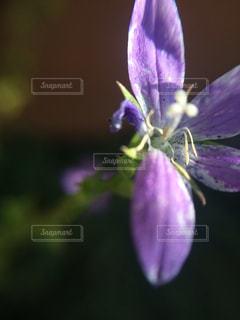 植物の紫色の花の写真・画像素材[1125071]