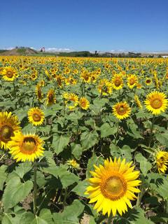 フィールド内の黄色の花の写真・画像素材[1125146]