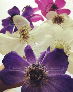 紫色の花の写真・画像素材[1330247]