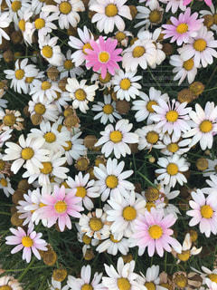 白と黄色の花で一杯の花瓶の写真・画像素材[1330252]