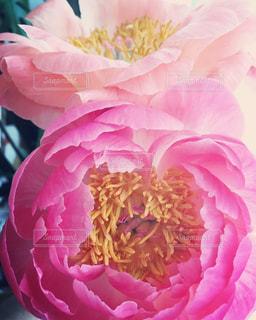 近くにピンクの花のアップの写真・画像素材[1330253]