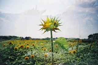 野原の黄色い花の写真・画像素材[2407004]
