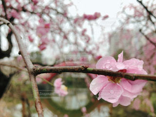 ピンクの花を持つ木の写真・画像素材[2961327]