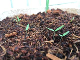 ミニトマト 発芽の写真・画像素材[1122325]