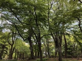 森の大きな木の写真・画像素材[1122900]