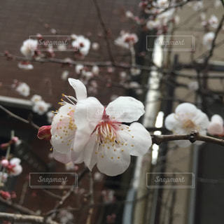 桜の写真・画像素材[392039]