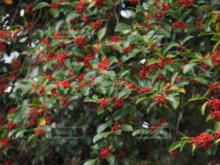 赤い実の写真・画像素材[883412]