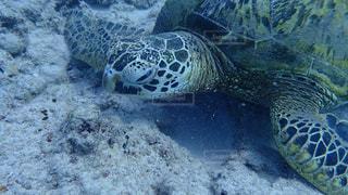 水の下の海亀の写真・画像素材[1125658]