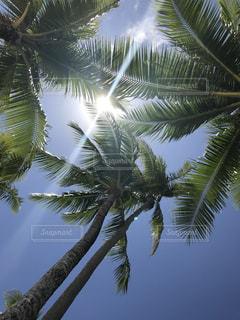 ヤシの木と太陽光の写真・画像素材[1125676]