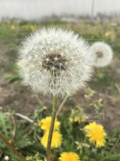 フィールド内の黄色の花の写真・画像素材[1127796]
