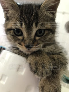 子猫の写真・画像素材[1253427]