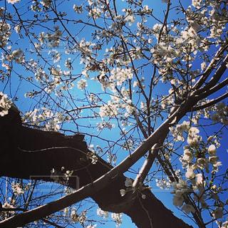 桜の木と、その向こうの空の写真・画像素材[1885341]