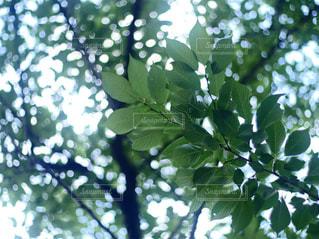 葉桜の写真・画像素材[1126861]