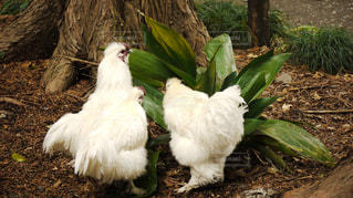 烏骨鶏の写真・画像素材[1131002]