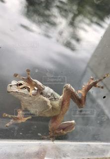 裏側から見たかわいいカエルの写真・画像素材[1124975]