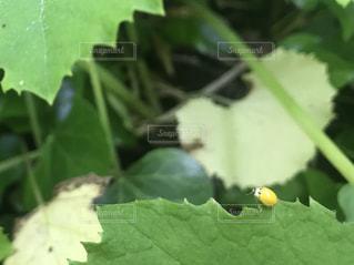 蕗の葉の上にとまる黄色いてんとう虫の写真・画像素材[1141192]