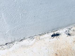 コンクリートを歩く蟻の写真・画像素材[1141193]