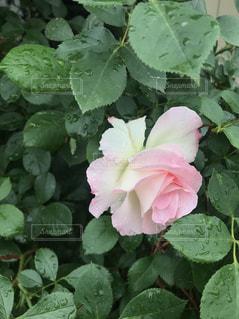 ピンクの薔薇の花の写真・画像素材[1159383]