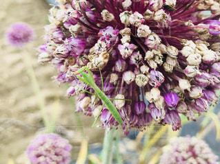ニンニクの花の上に乗るカマキリの写真・画像素材[1262839]