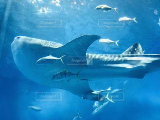 美ら海水族館のジンベエザメの写真・画像素材[1878284]