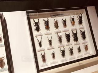 クワガタの標本の写真・画像素材[2100908]