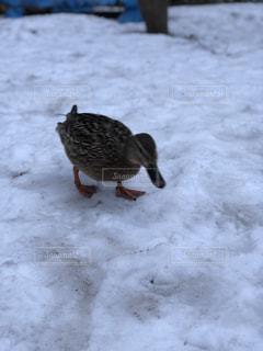 雪に覆われた地面の上を歩く小さな鳥の写真・画像素材[1126490]