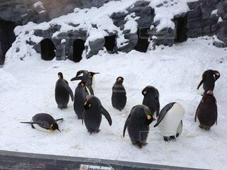 ペンギン - No.36471