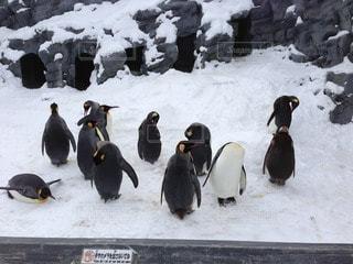 ペンギン - No.36478